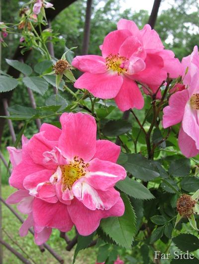 Climbing Roses in June