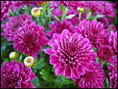 Chrysanthemums1