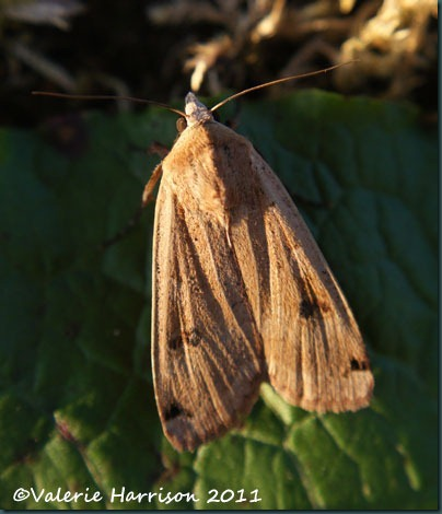 large-yellow-underwing (2)