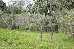 vineyard-olive-grove-8