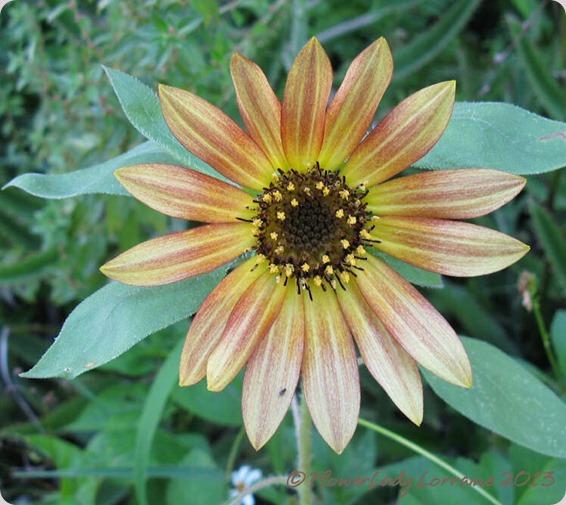06-10-sunflower2