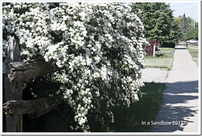 Bridalwreath-Spirea-edit-6-