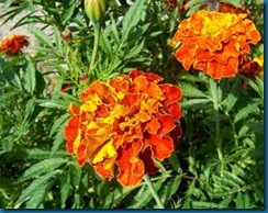 mexican marigold