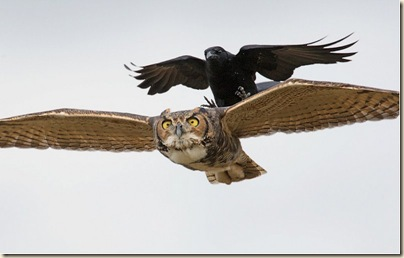 crow attack