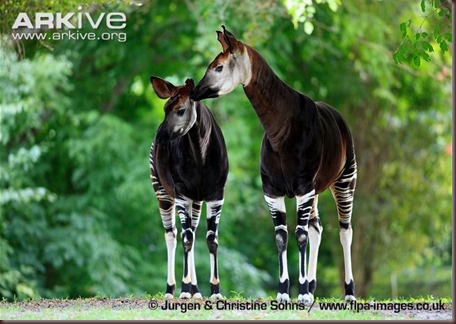ARKive image GES131839 - Okapi