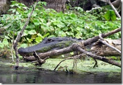 Alligator on Silver River