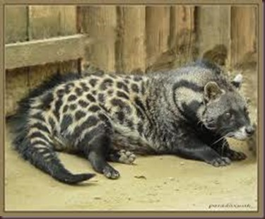 Amazing Pictures of Animals, photo, Nature exotic, funny, incredibel, Zoo, African civet, mammals, Alex (9)