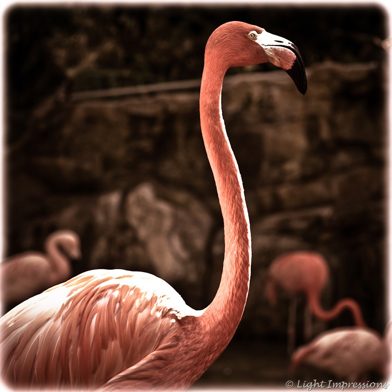 Light Impressions-Flamingo at Los Angeles Zoo