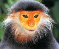 Douc langur, an Old World monkey
