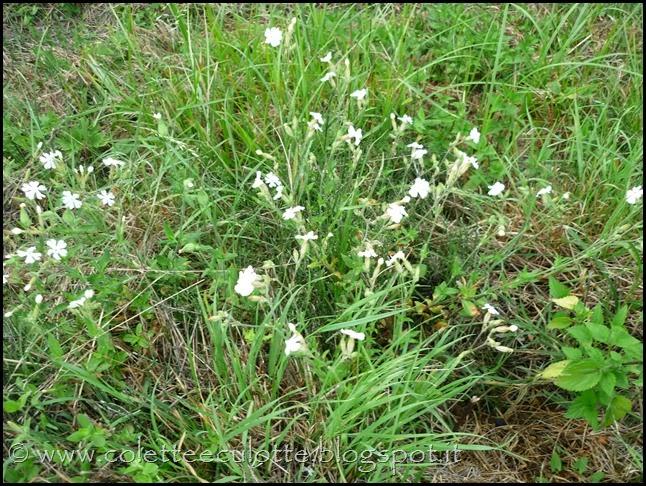 Silene alba (6)
