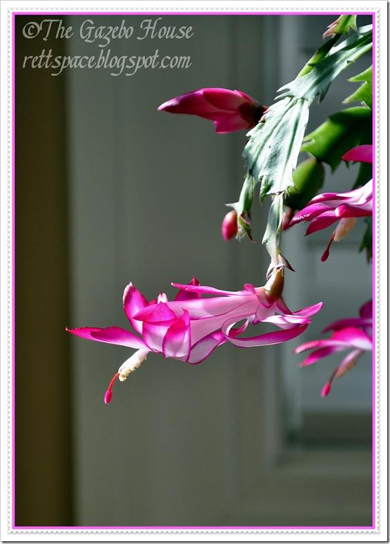 Christmas cactus, April notecard