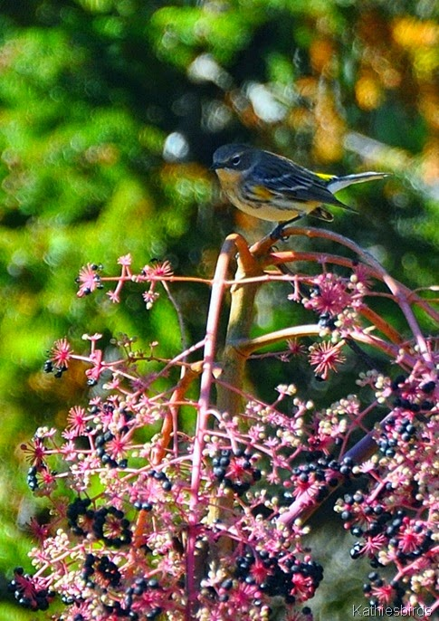 9. yellow-rumped warbler-kab