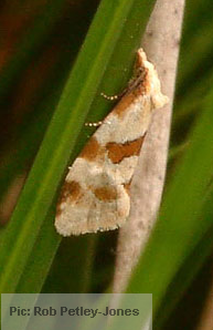 Aethes cnicana