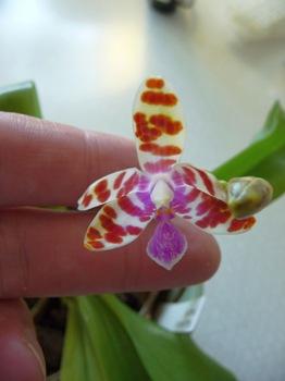 006 korr Phalaenopsis mariae Daniel Grankvist