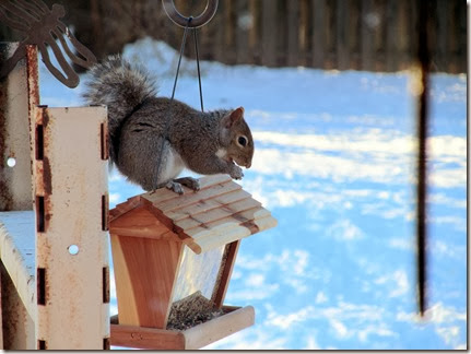 squirrel12-18-13b