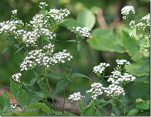 RL_Euphorbia_WhiteSnakeroot3