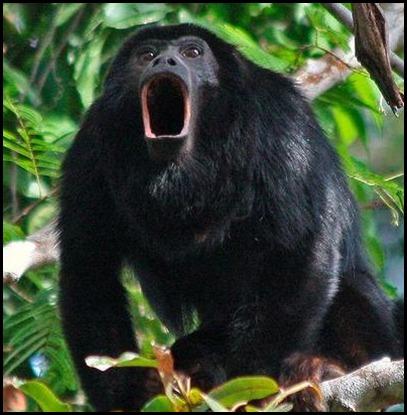 ARKive image GES063266 - Red-handed howler monkey
