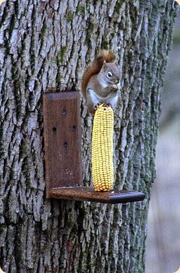LittleSquirrelCorn