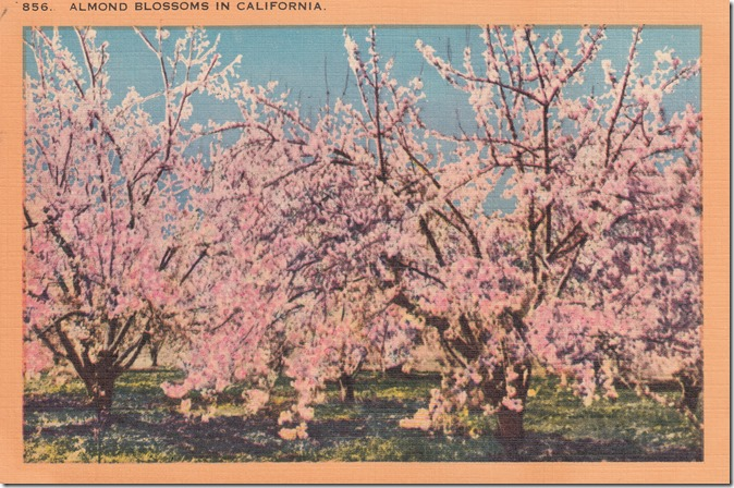 Almond Blossoms in California Pg. 1