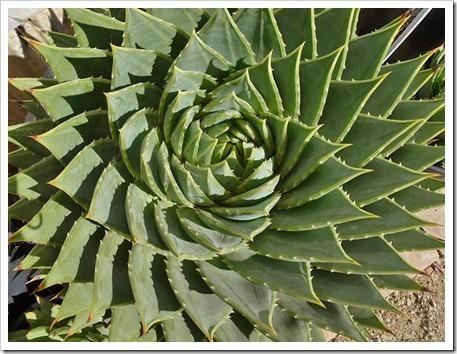 111001_succulent_gardens_aloe_polyphylla_03