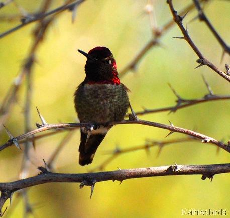 18. anna's hummingbird-kab