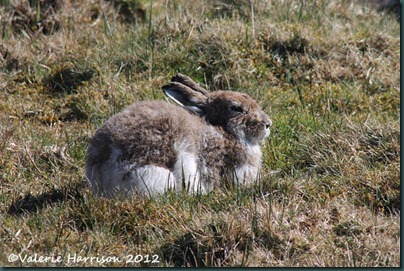 15-mountain-hare