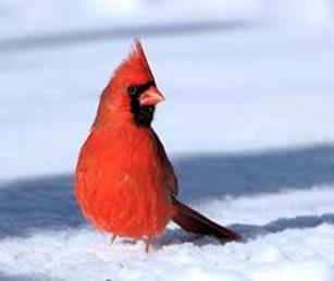 Amazing Pictures of Animals,photo, Nature, exotic, funny, incredibel, Zoo, Northern Cardinal, (Cardinalis cardinalis), Bird, Aves, Alex (20)
