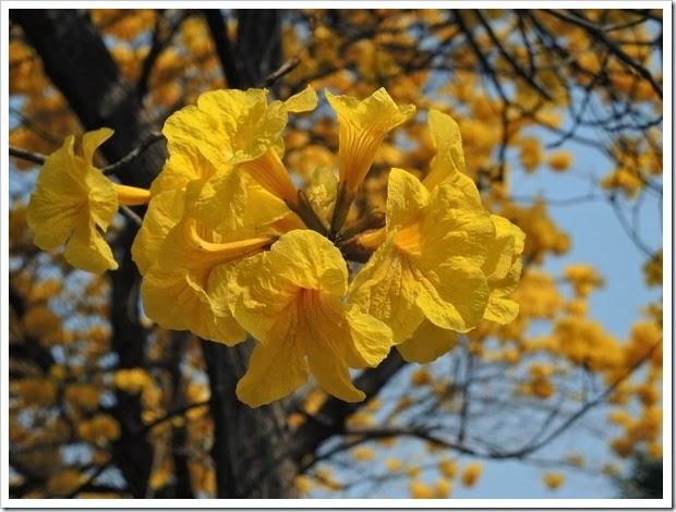 黃花風鈴木在嘉義榮總2
