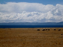 Llamas and Lake Titicaca, Peru.