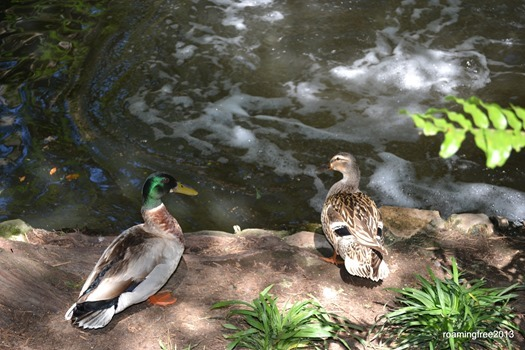 Ducks at the Riverwalk