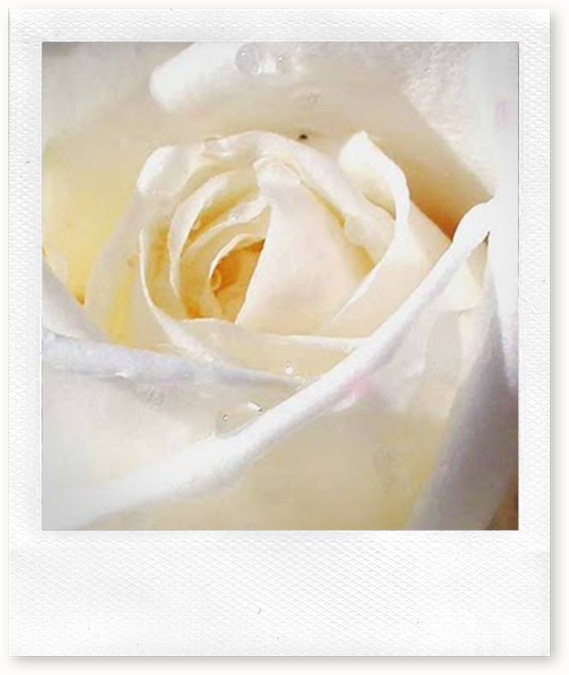 buttercreamwhite-rose-picture
