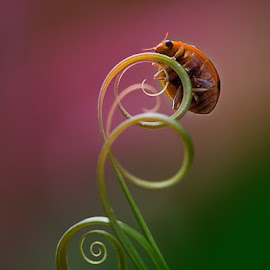 Lady Bug by Uco Sugianto - Animals Insects & Spiders