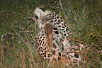 Oh yeah, thats the spot - leopard having a good scratch in the grass (more likely actually scent marking, but it looked like he was enjoying it).