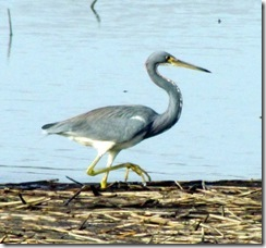 Tricolored Heron walking in the sawgrass reeds