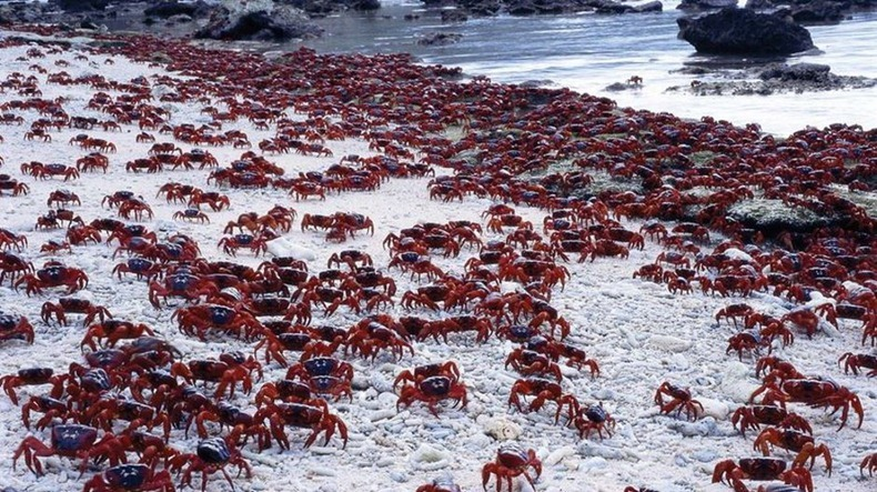 red-crab-migration-10