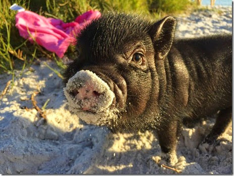 cute-pigs-animals-001
