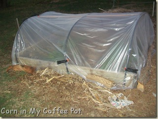 cold frames- tomatoes- fall gardens 023