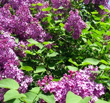 Lilac beautiful 2014
