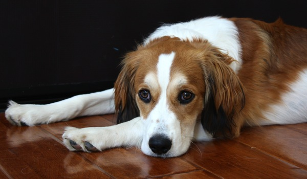 brittany spaniel border collie
