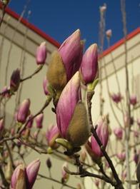 tulip magnolia (17)