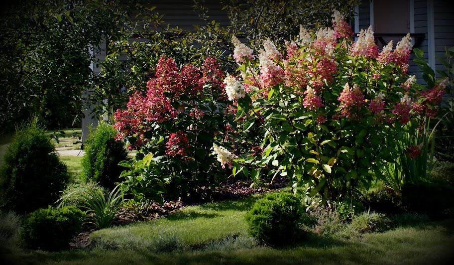 1000 images about hortensje on pinterest limelight for Xd garden design