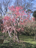 The first plum blossoms of the year in Inokashira Park. This park is also popular spot for hanami (cherry blossom viewing) in the Spring.