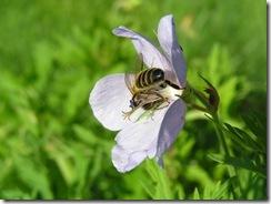 včely na květu a matečniky 056