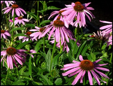 purple coneflower2