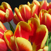 Tulips13.jpg