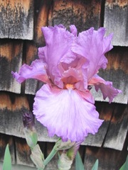 Iris orchid color 5.2012