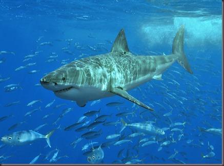 Amazing Animals Pictures White Shark (5)