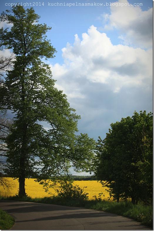 rzepakowe pola (10)