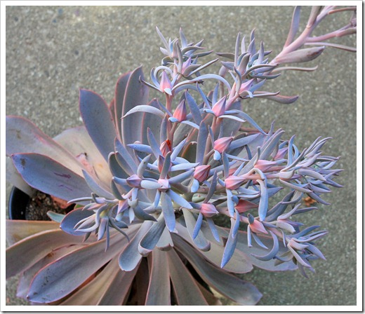 120821_Echeveria-Afterglow_07