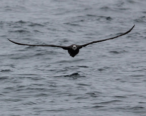 One of my most-wanted birds: Lifer Black-footed Albatross! We saw 11 of these birds on this trip!